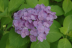 Ogonba Hydrangea (Hydrangea macrophylla 'Ogonba') at Alsip Home and Nursery