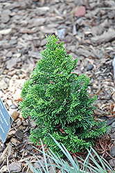 Little Ann Hinoki Falsecypress (Chamaecyparis obtusa 'Little Ann') at Alsip Home and Nursery