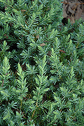 Blue Pacific Shore Juniper (Juniperus conferta 'Blue Pacific') at Alsip Home and Nursery
