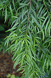 Willowleaf Podocarp (Podocarpus salignus) at Alsip Home and Nursery