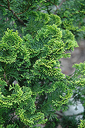 Aurora Hinoki Falsecypress (Chamaecyparis obtusa 'Aurora') at Alsip Home and Nursery