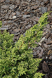 Blaauw's Golden Chinese Juniper (Juniperus chinensis 'Blaauw's Golden') at Alsip Home and Nursery