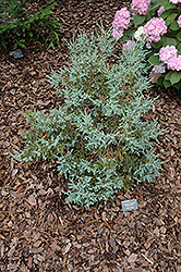 Chinese Silver Flaky Juniper (Juniperus squamata 'Chinese Silver') at Alsip Home and Nursery