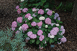 Pink Beauty Hydrangea (Hydrangea macrophylla 'Pink Beauty') at Alsip Home and Nursery