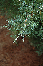 Burk's Redcedar (Juniperus virginiana 'Burkii') at Alsip Home and Nursery
