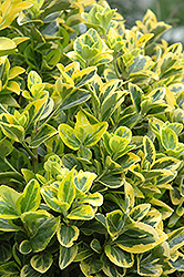 Gold Variegated Japanese Euonymus (Euonymus japonicus 'Aureomarginata') at Alsip Home and Nursery