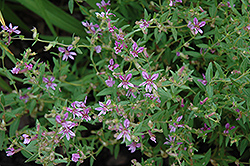 Sticky Waxweed (Cuphea glutinosa) at Alsip Home and Nursery