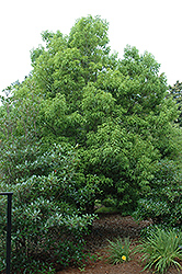 Myrtle Oak (Quercus myrtifolia) at Alsip Home and Nursery