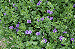 Miniature Morning Glory (Convolvulus sabatius) at Alsip Home and Nursery