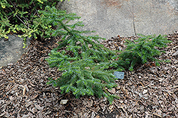 Greer's Dwarf Chinese Fir (Cunninghamia lanceolata 'Greer's Dwarf') at Alsip Home and Nursery