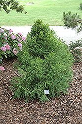 Pom Pom Japanese Cedar (Cryptomeria japonica 'Pom Pom') at Alsip Home and Nursery