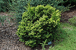 Kanaamihiba Hinoki Falsecypress (Chamaecyparis obtusa 'Kanaamihiba') at Alsip Home and Nursery