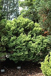 Plumosa Aurea Compacta Falsecypress (Chamaecyparis pisifera 'Plumosa Aurea Compacta') at Alsip Home and Nursery