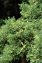 Saffron Spray Hinoki Falsecypress (Chamaecyparis obtusa 'Saffron Spray') at Alsip Home and Nursery