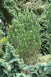 Meth Dwarf Whitecedar (Chamaecyparis thyoides 'Meth Dwarf') at Alsip Home and Nursery