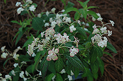 Shirotae Hydrangea (Hydrangea serrata 'Shirotae') at Alsip Home and Nursery