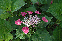 Zaunkoenig Hydrangea (Hydrangea macrophylla 'Zaunkoenig') at Alsip Home and Nursery