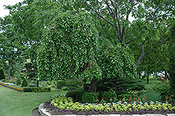 Weeping Mulberry (Morus alba 'Pendula') at Alsip Home and Nursery