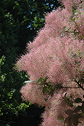 Grace Smokebush (Cotinus 'Grace') at Alsip Home and Nursery