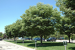 Village Green Zelkova (Zelkova serrata 'Village Green') at Alsip Home and Nursery