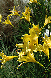 Lemon Daylily (Hemerocallis lilioasphodelus) at Alsip Home and Nursery