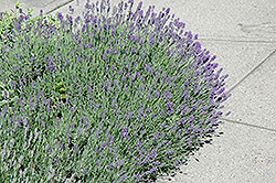 Munstead Lavender (Lavandula angustifolia 'Munstead') at Alsip Home and Nursery