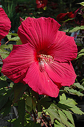Sultry Kiss Hibiscus (Hibiscus 'Sultry Kiss') at Alsip Home and Nursery
