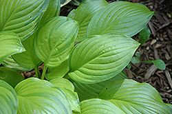 Hoosier Harmony Hosta (Hosta 'Hoosier Harmony') at Alsip Home and Nursery