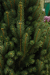 Blue Totem Spruce (Picea pungens 'Blue Totem') at Alsip Home and Nursery