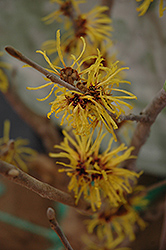 Wisley Supreme Witchhazel (Hamamelis mollis 'Wisley Supreme') at Alsip Home and Nursery
