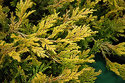 Gold Strike Juniper (Juniperus horizontalis 'Gold Strike') at Alsip Home and Nursery