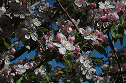 Ambrosia Apple (Malus 'Ambrosia') at Alsip Home and Nursery