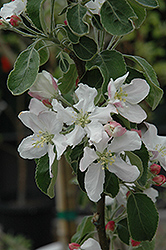 Granny Smith Apple (Malus 'Granny Smith') at Alsip Home and Nursery