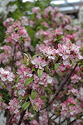 Coralburst Flowering Crab (Malus 'Coralburst') at Alsip Home and Nursery
