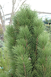 Teardrop Austrian Pine (Pinus nigra 'Teardrop') at Alsip Home and Nursery