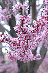 Eastern Redbud (Cercis canadensis) at Alsip Home and Nursery