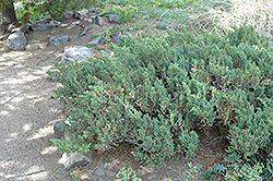 San Jose Juniper (Juniperus chinensis 'San Jose') at Alsip Home and Nursery