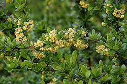 Sparkle Japanese Barberry (Berberis thunbergii 'Sparkle') at Alsip Home and Nursery
