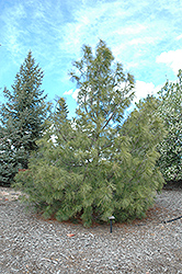 Western White Pine (Pinus monticola) at Alsip Home and Nursery