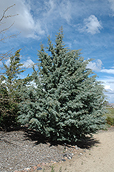 Arizona Cypress (Cupressus arizonica) at Alsip Home and Nursery