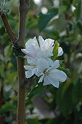 Whitney Flowering Crab (Malus 'Whitney') at Alsip Home and Nursery