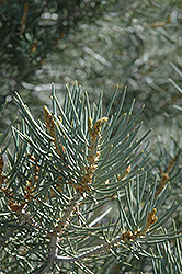 Singleleaf Pinyon Pine (Pinus monophylla) at Alsip Home and Nursery