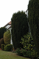 Upright Irish Yew (Taxus baccata 'Fastigiata Robusta') at Alsip Home and Nursery