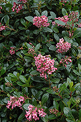 Red Escallonia (Escallonia rubra 'var. macrantha') at Alsip Home and Nursery