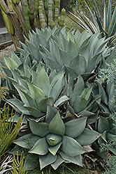 Parry's Agave (Agave parryi) at Alsip Home and Nursery