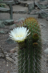 Chilean Cactus (Echinopsis chiloensis) at Alsip Home and Nursery