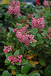 Newport Dwarf Escallonia (Escallonia 'Newport Dwarf') at Alsip Home and Nursery
