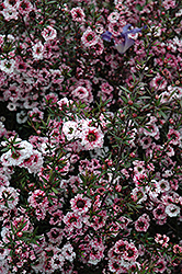 Martini Tea-Tree (Leptospermum scoparium 'Martini') at Alsip Home and Nursery