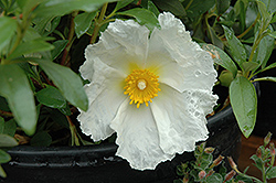 Bennett's White Rockrose (Cistus ladanifer 'Bennett's White') at Alsip Home and Nursery