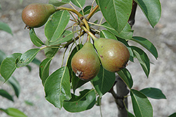 Moonglow Pear (Pyrus communis 'Moonglow') at Alsip Home and Nursery
